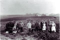 1921-kartoffeloptagning-v-Roedding